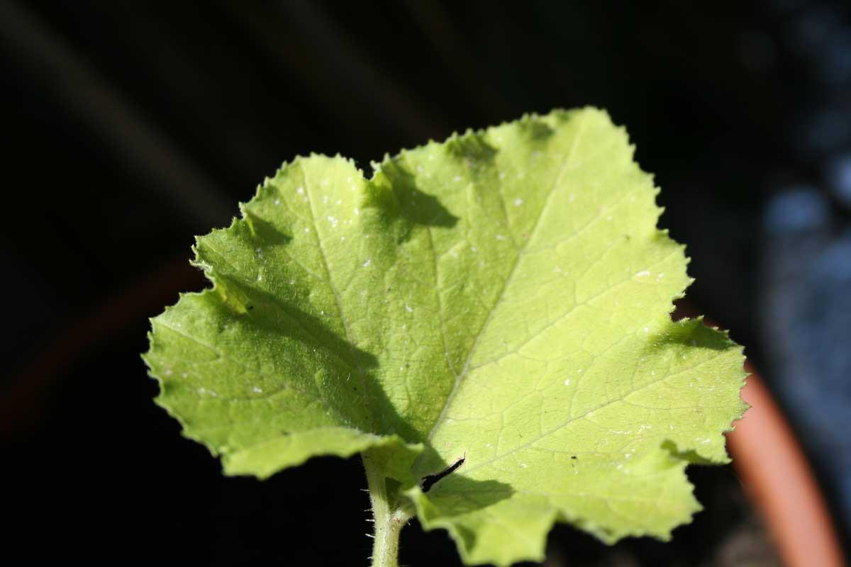 Quelle maladie sur mes courgettes et ma menthe ecologie pratique au jardin les forums d - Maladie de la courgette ...